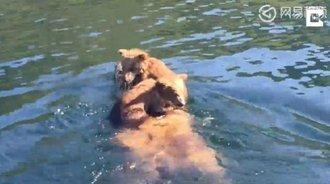 野生小熊骑在熊妈妈背上过河,这画面太美了