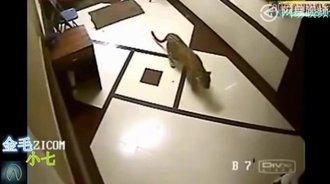 这只猎豹真大胆,竟然跑到居民家中把狗叼走