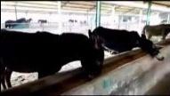 肉驴养殖最新行情养驴技术