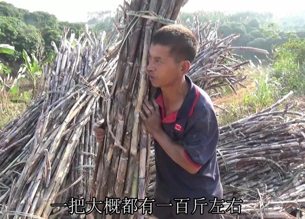 农村大叔扛2吨甘蔗装车,一捆都有上百斤重,农民挣钱真心不容易