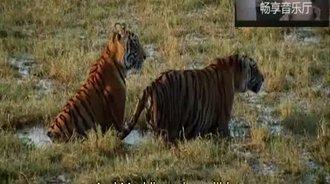 老虎王猎杀鳄鱼,这技巧比狮子不知道高到哪里去了!