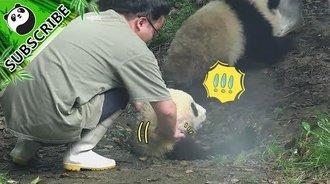 熊猫灰大王的尊贵奢华熊生