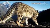 [新闻袋袋裤]四姑娘山:红外相机拍到雪豹