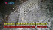 甘肃省阿克塞县境内祁连山区首次拍到四只雪豹同框罕见画面