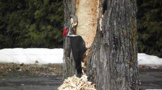 当啄木鸟觉得树木无药可救,它就成了电钻机
