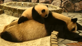 大熊猫妈妈在睡觉,熊猫宝宝在妈妈背上玩