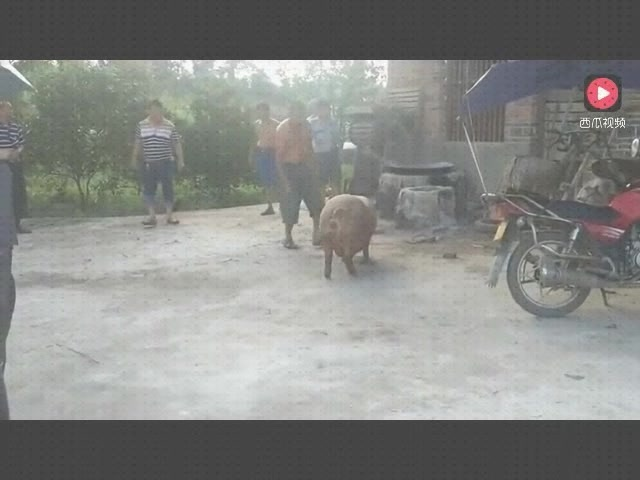 娱乐:农村高手站着杀猪