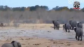 落单的大象遭遇狮子攻击