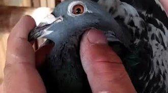 看一羽三关得奖1万的雌信鸽,眼砂漂亮!
