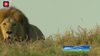 狮王争霸!雄狮出门回到家,领地被占,草原霸主发飙了!