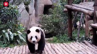 真的太可爱了,一群熊猫赶着去拿食物