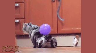 将气球粘在喵星人的背上,它会有什么反应呢