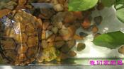 巴西龟已经适应了石头搭成晾晒台