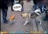 【搞笑视频】哈士奇居然被一個氣球老虎嚇得語無倫次,二