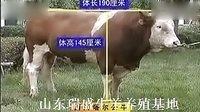 西门塔尔牛养殖技术视频