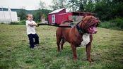 小新奇闻:凶悍一点都不逊于比特,中华田园犬里凶猛的猛犬