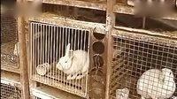 财源广进肉兔养殖技术