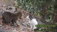 外国猫打架(请忽略那个网址)