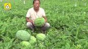 2万斤西瓜全被砍烂后续:瓜农获捐款1.73万,准备全部拿出给村民打井