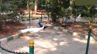孔雀飞起来的时候比开屏时更加美丽