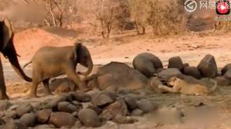 狮子竟然敢挑战大象的权威,胆子真是不小