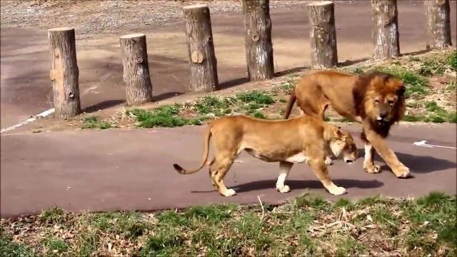 晒恩爱的季节,母狮来散步有陪伴,雄狮一直紧随身后