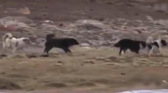 高原孤狼单挑6只藏獒狗!