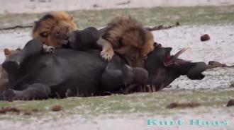 小象的悲哀,遭到狮子骑在背上不松口