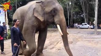 大象听说主人遇难 流泪跪拜为其送行