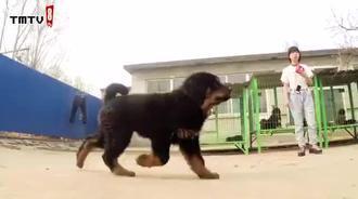 这条狗狗走出了霸王气质