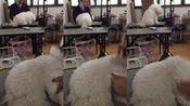 #苏州金吉宠物小课堂# 如何给自己的狗狗无痛开结2