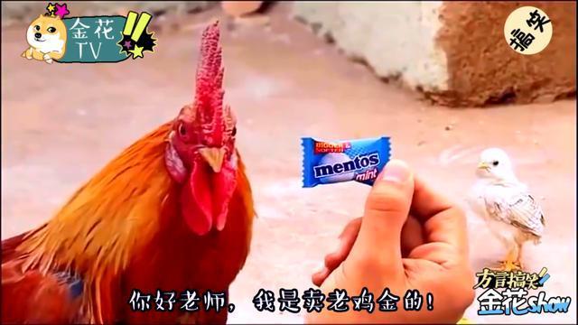 四川方言 创意配音 当大公鸡张嘴说四川话,笑的人都不好了!