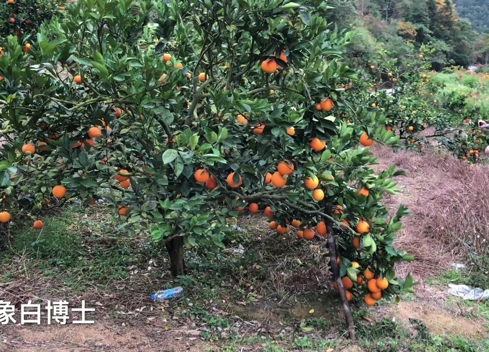 「原创」平远脐橙丰收1元1斤都联系不到买家,果农急坏了h?