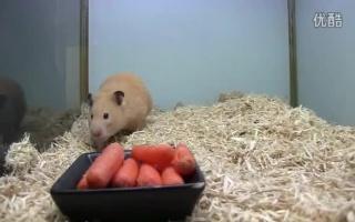 一口气塞5根胡萝卜的仓鼠