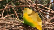 【手工-枯叶蝶】用银杏叶做一只小蝴蝶[BGM:风居住的街道]