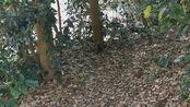 [漫步纪行]日本鎌仓鹤冈八鐇宫门前的淘气的松鼠