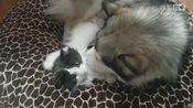 阿拉斯加雪橇犬和挪威森林猫,相处很融洽-萌宠人人爱-啪几啪几
