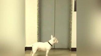 小狗狗在电梯口等下班回来的主人,兴奋了