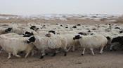 黑龙江桦南县发生疑似羊炭疽疫情 捕杀255只羊