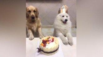 萨摩过生日金毛还以为给自己过生日,还偷偷的许愿