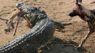 野狗正在吃羚羊,鳄鱼大摇大摆的来抢食