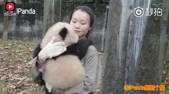 一天到晚都要抱的熊猫宝宝