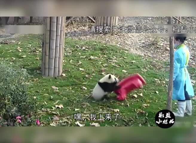 """""""奇一""""又来啦,不一样的熊猫网红奇一,看了还想看(普通话版)"""