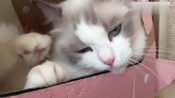 布偶猫一直在挠痒痒是多久没洗澡了吗,这么痒