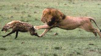 战斗至死,狮子攻击鬣狗