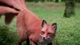 白凤九的真身九尾赤狐,颜色真好看,不料遇到擎苍坐骑!