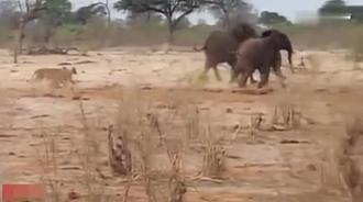 狮子趁象群去喝水攻击了小象,被大象率领队员救回一条命