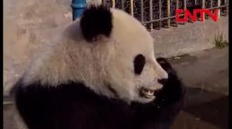 """熊猫""""高高""""的珍贵画面"""