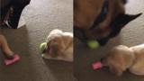 心爱的网球被小奶狗霸占 温柔大汪商量不成 叼来其他玩具成功交换
