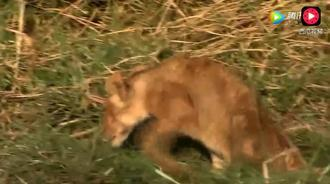 小狮子被水牛踩断两条腿 依然顽强的跟随狮群前进
